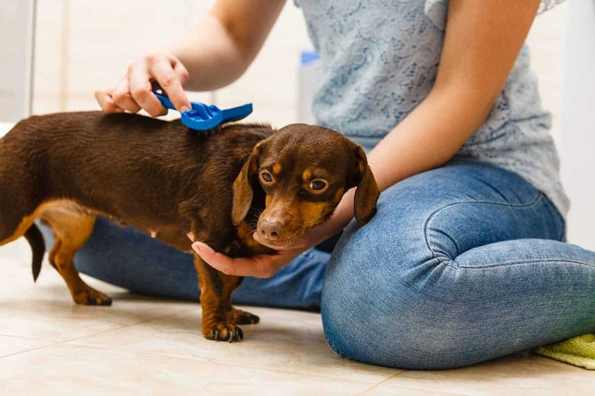 How To Brush A Dog With Short Hair Dogscessories